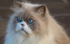 Allergy symptoms to long-haired cats, what are they?