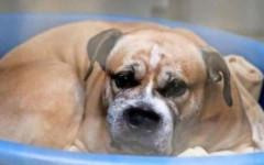 Cane uccide proprietari: giusta la petizione per salvarlo?