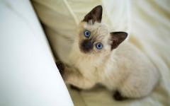 Tumori mammari nel gatto: sintomi e diagnosi