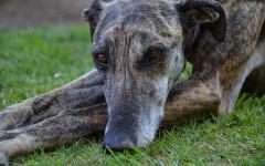 Galgo Espanol, carattere e prezzo - Razze cani