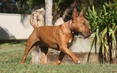Bull terrier: una raza sin igual y un amigo para toda la vida