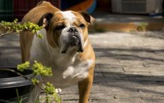 Perro come mucho: una actitud poco saludable