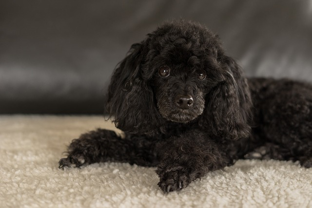Cisti follicolari ovariche nei cani: cause, sintomi e terapia