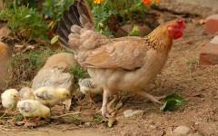 Accoppiamento delle galline: come avviene e curiosità
