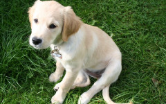 At what age do puppies start retrieving?