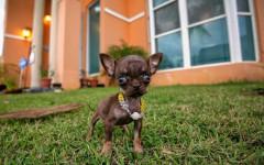 Cane più piccolo del mondo, il chihuahua Milly