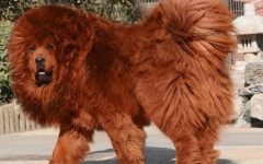 El perro más caro del mundo: un can digno de conocer