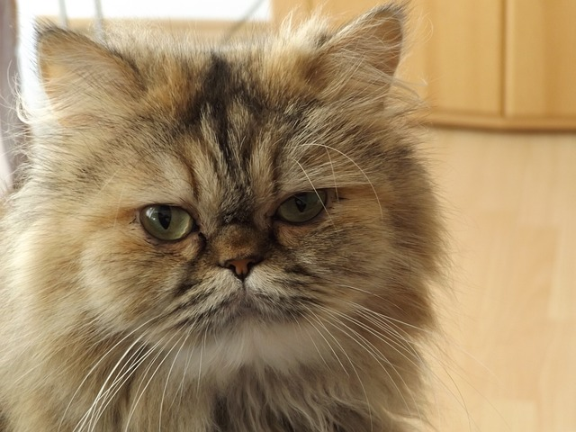 How to bathe a Persian cat