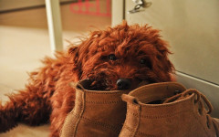 Why do Dogs Chew on Shoes?