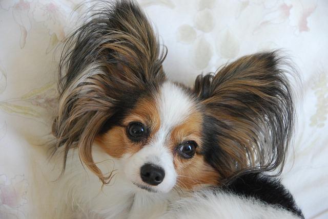 Perro papillon: variedad, carácter y cuidados