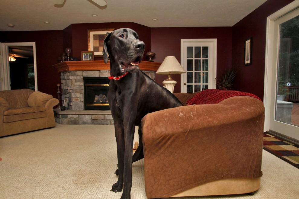 Zeus cane più alto del mondo