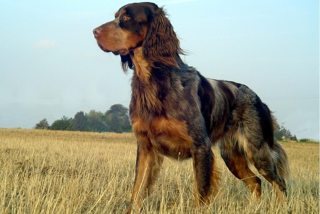 Epagneul Picard, carattere e prezzo - Razze cani