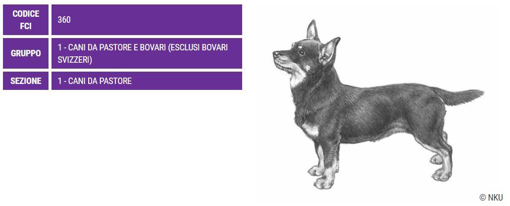 Lancashire Heeler, carattere e prezzo - Razze cani