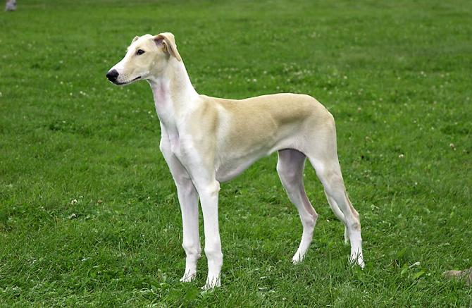 Levriero Polacco, caratteristiche e prezzo - Razze cani