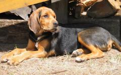 Segugio Finlandese, carattere e prezzo - Razze cani