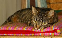 Calicivirosi felina: cos'è e come si cura la malattia