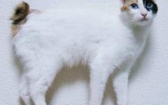 Gato japonés: un juguetón con pom pom