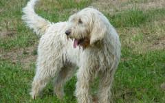 Briquet Griffon Vendeen, carattere e prezzo - Razze cani