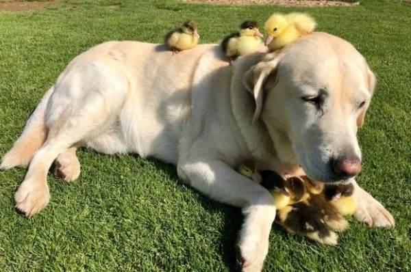 Cane adotta anatroccoli: storia di amore incondizionato
