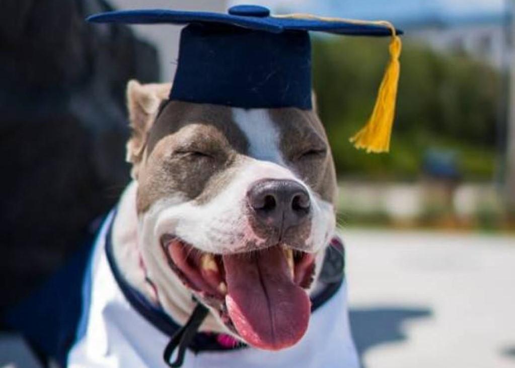 Pitbull premiato all'università per aver aiutato la sua umana