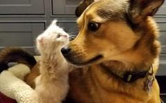 Cane salva gattini e si prende cura di loro, come un papà