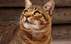 Gato romano: un felino de auténtica tradición