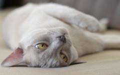 Gatto si rotola per terra: perché si comporta così?