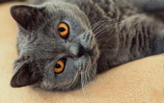 Eliminazioni inappropriate del gatto: meglio lettiera aperta o chiusa?