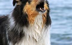 Ladrido de perro: una forma de comunicarse