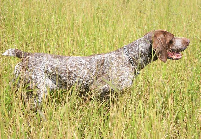 Braco perro: un pecoso de ojos brillantes