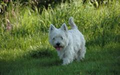 Perro westy: un amiguito canino muy simpático