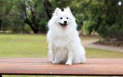 Perro esquimal americano: un pequeño y tierno amigo