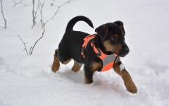 Deutscher Jagdterrier, carattere e prezzo - Razze cani