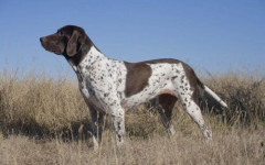 Gammel Dansk Honsenhund, carattere e prezzo - Razze cani