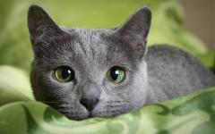 Gato azul: un felino exótico y un unico ejemplar