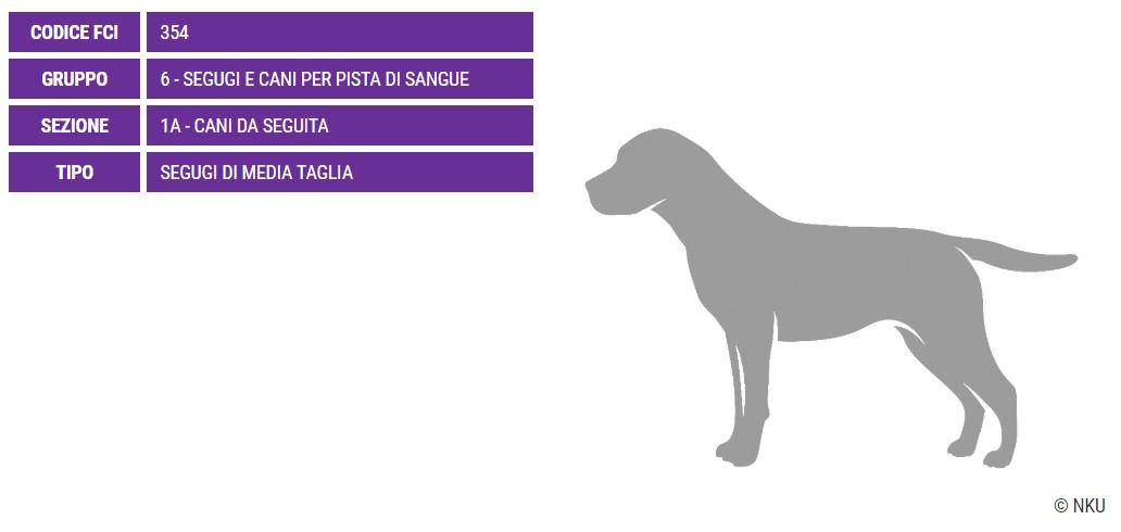 Gonczy Polski, carattere e prezzo - Razze cani