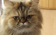 Gastrite gatto: cause, sintomi e cure della malattia
