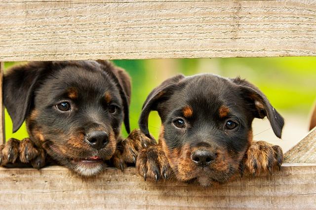 Rottweiler perro: raza de fuerza y trabajo