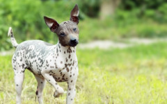American Hairless Terrier: origins, physical characteristics and personality