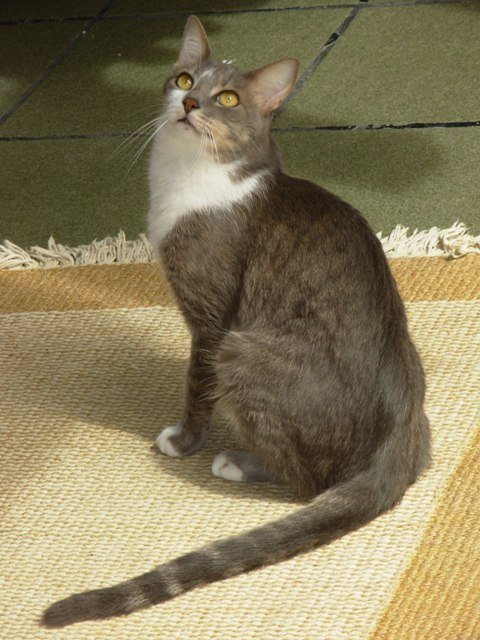 Brazilian Shorthair cat: origins, characteristics, personality