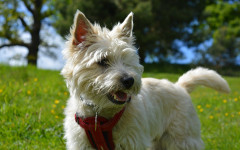 Cairn Terrier: origins, physical characteristics and personality