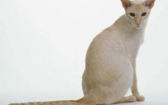 Colorpoint Shorthair cat: origins, characteristics and personality