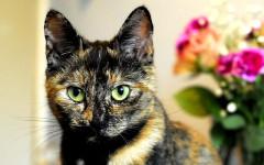 Gatos carey, belleza y enigma felino: lo que debes saber