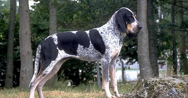 Grand Bleu de Gascogne, carattere e prezzo - Razze cani