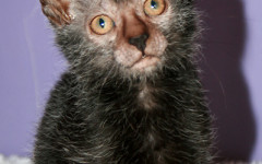 The Lykoi, the Werewolf cat