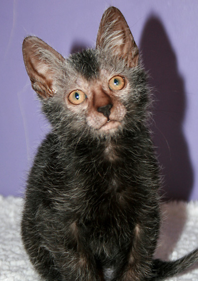 The Lykoi, the Werewolf cat