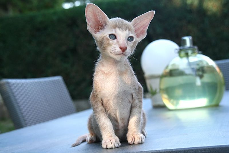 Oriental Shorthair: origins, characteristics and personality