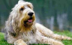 Otterhound, carattere e prezzo - Razze cani