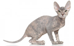 Peterbald cat: origins, characteristics and personality