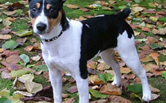 Rat Terrier: origins, physical characteristics and personality